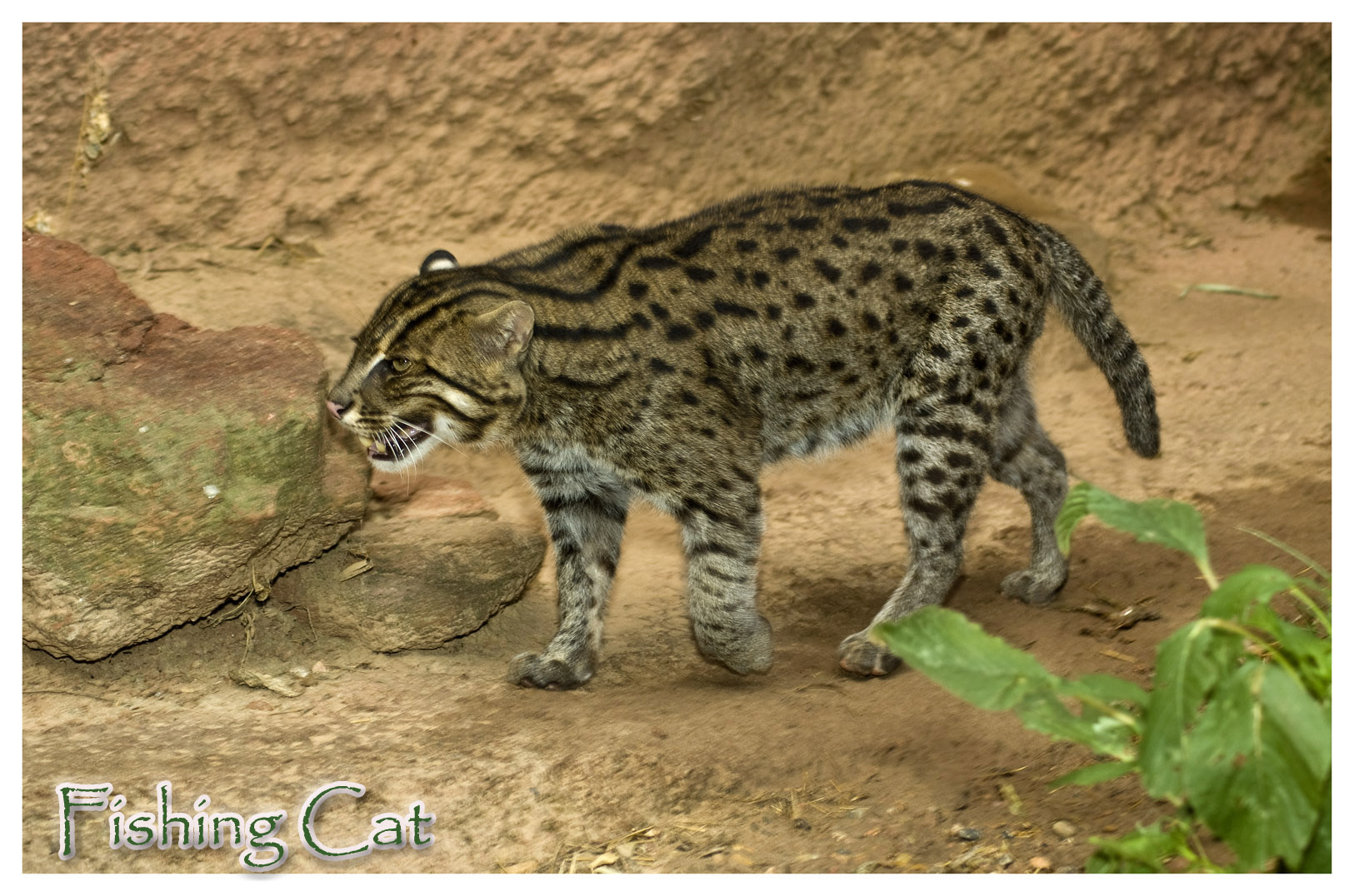 The fishing cat kkeith photographer the photoblog for The fishing cat