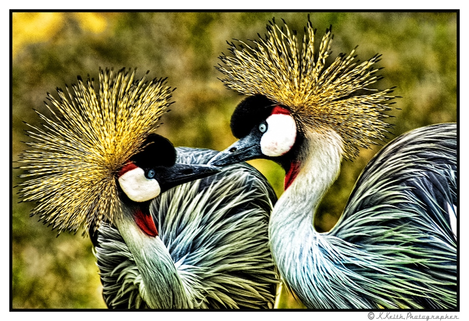 © 2014 KKEITH / ALL RIGHTS RESERVED CROWNED CRANES FROM THE TOPEKA ZOO