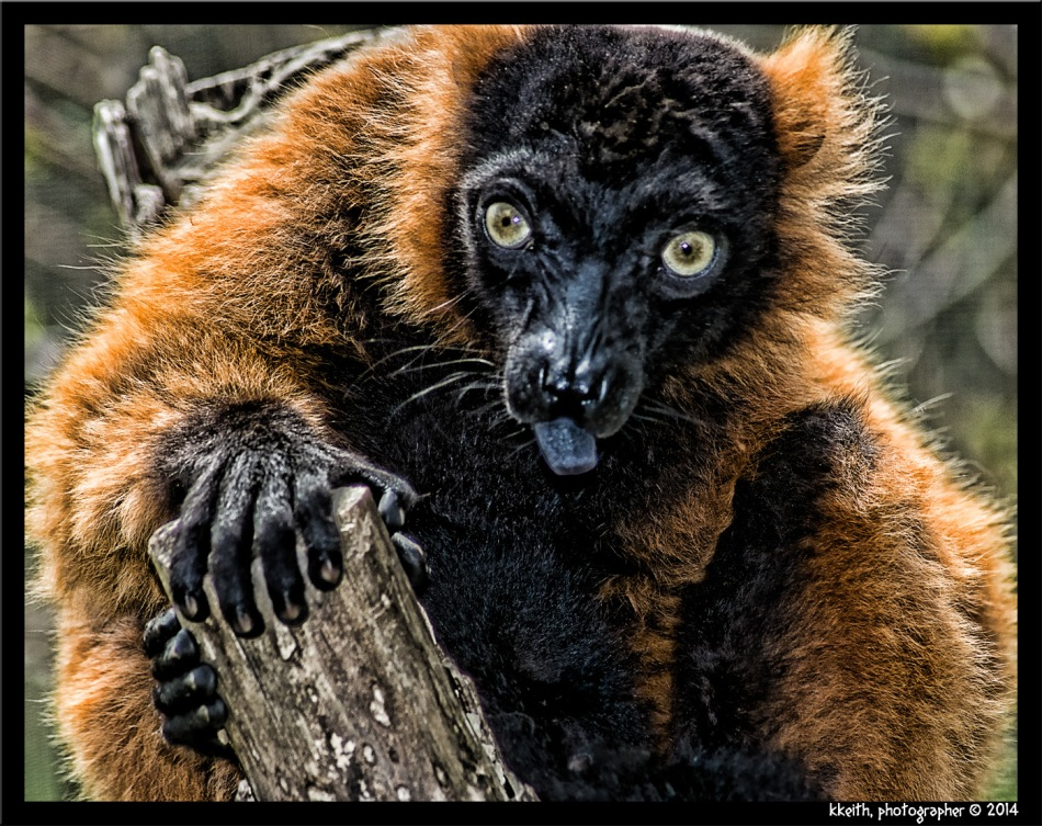 RED-RUFFED LEMUR ©2014 KKEITH / ALL RIGHTS RESERVED