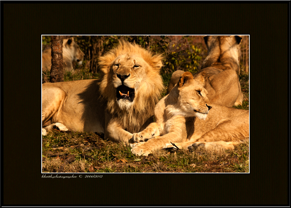 Part of lion pride at Kansas City Zoo. ©kkeith / all rights reserved